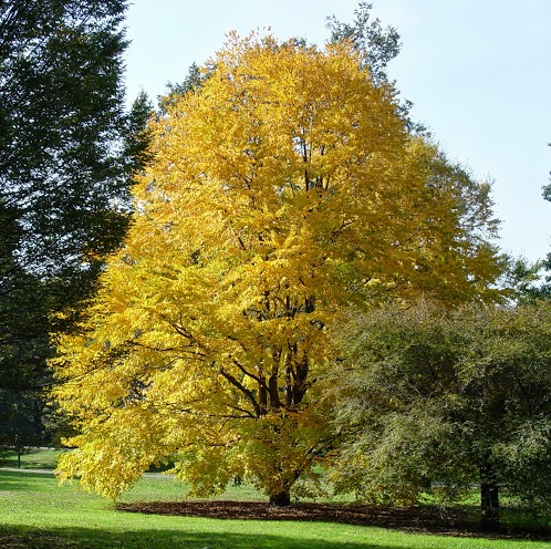 Walks And Walking - Katsura Tree