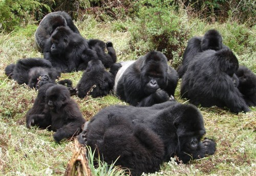 Craghoppers and the Dian Fossey Gorilla Fund - HOPE Video - Large Gorilla Group