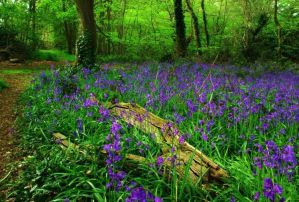 Landscape Life Bluebells in Epping Forest at Bluehouse Grove