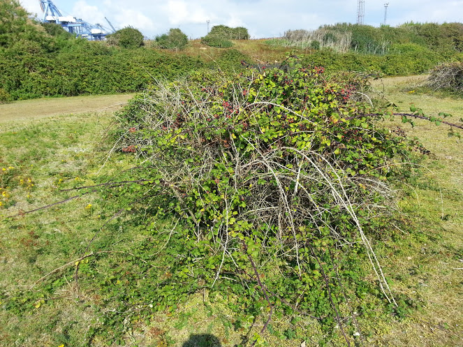 Walks And Walking - Languard Fort Felixstowe Walking Route - Blackberry Bush