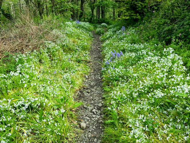 Walks And Walking - Morwenstow Walk In Cornwall - Flowering Wild Garlic and Bluebells