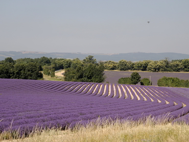 lavender fields during our art workshop in Provence