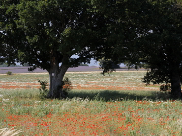 landscape painting poppies during our art workshop in Provence