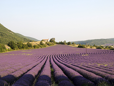 View of lavender fields during Walk the Arts art workshop for all levels in Provence France