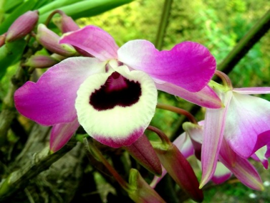 Rare-orchids-Sikkim