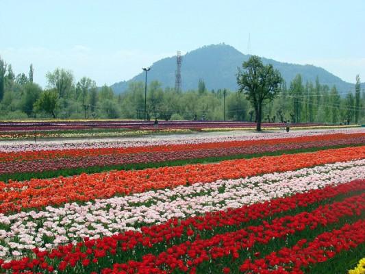 Tulip-Garden-Srinagar