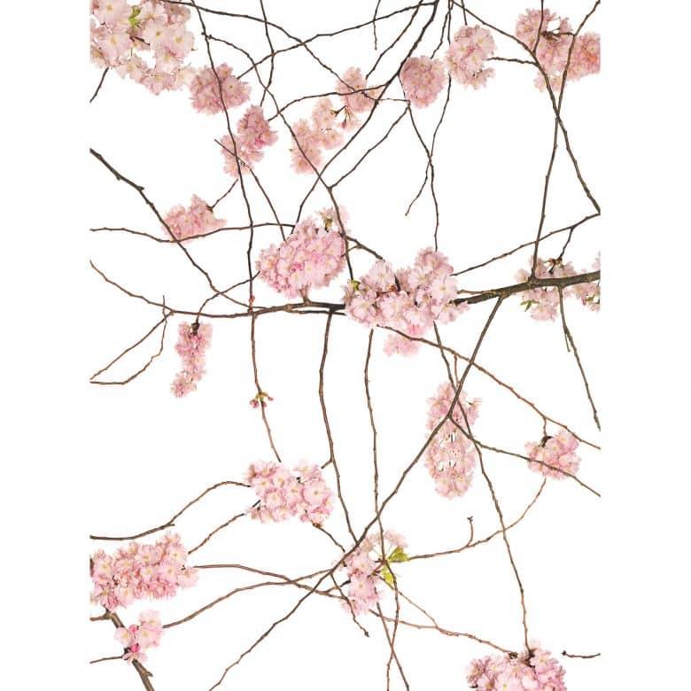 papier peint photo kadam fleurs de cerisier japonais