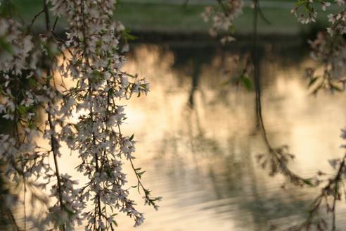 Willow Tree, Forest Park, Saint Louis, Missouri