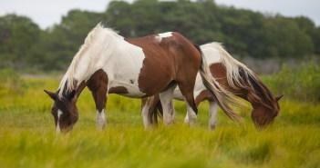 Wild Horses, Assateague Island,