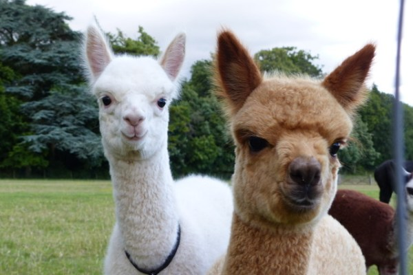 Alpacas in the Meon Valley just doen the road form Wallops Wood