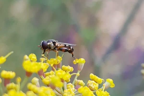 Wasp on a yellow fennel flower