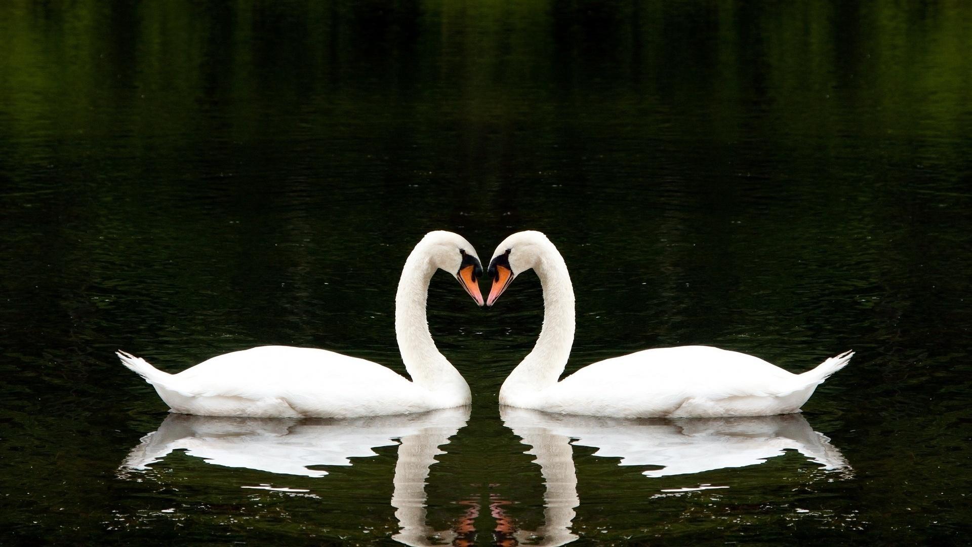 Swans Love Heart Wallpaper