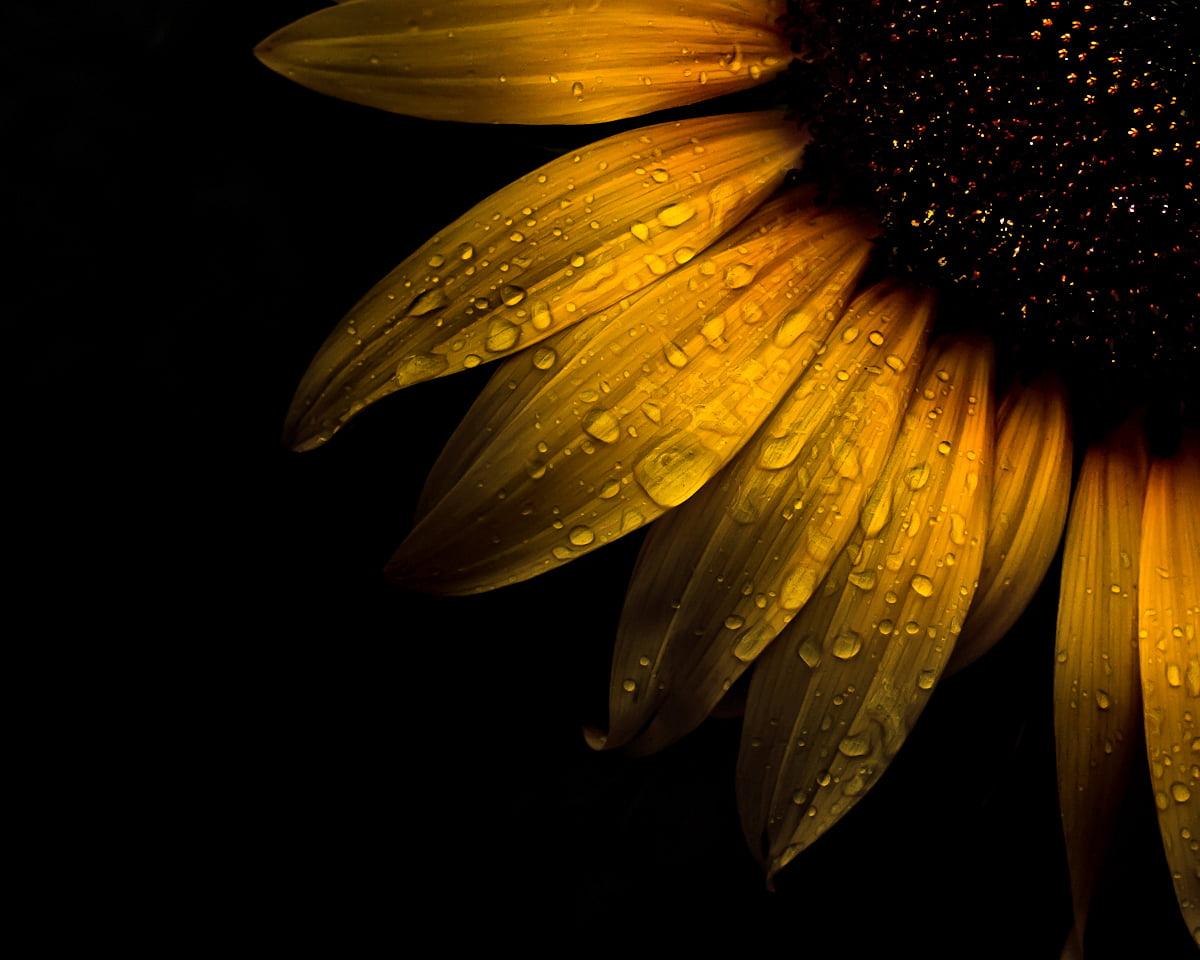 Macro Photo Of Water Dew On Sunflower Hd Wallpaper Wallpaper Flare