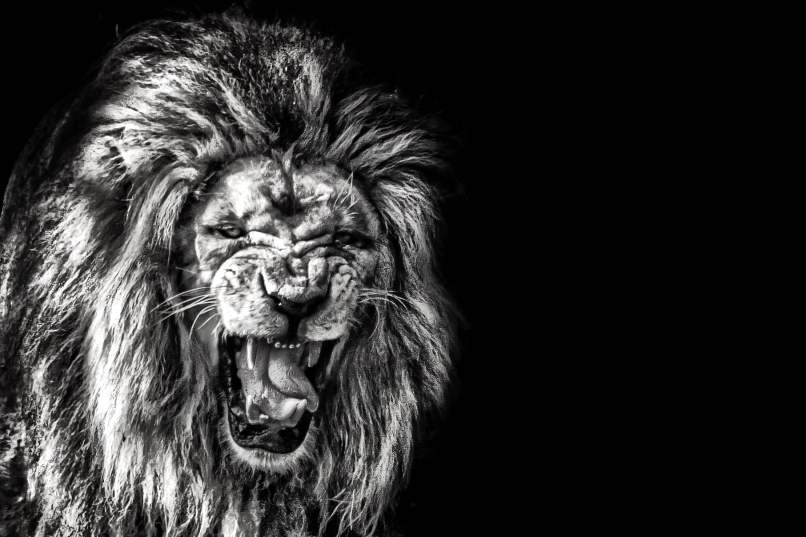 Photography Of Lion Roaring Hd Wallpaper Flare