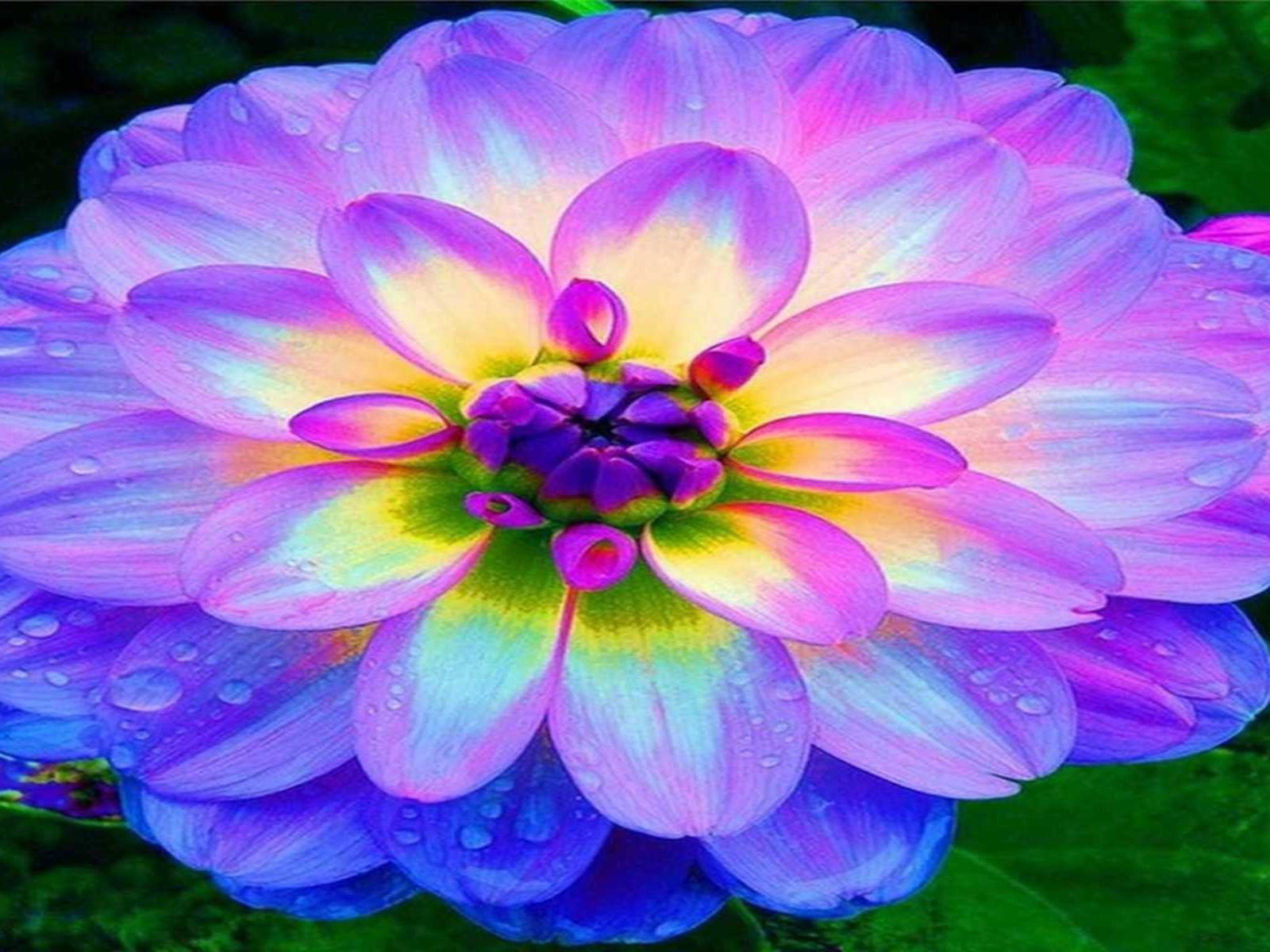 Blue Dahlia Flowers Hd Wallpapers