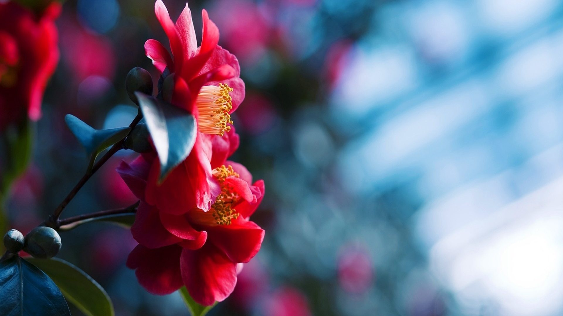 Red Flowers Blossom Blue Blurred Background 2560x1600
