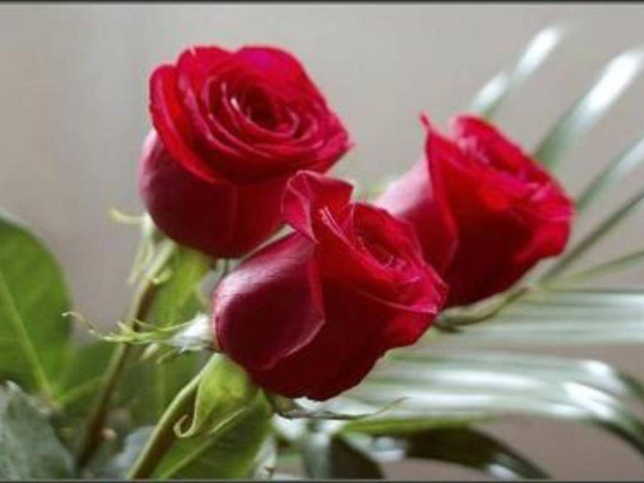 Red Roses 3 Wallpapers13 Com