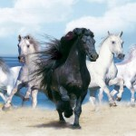 Beautiful Background With Animals Hd A Black Horse And Four White Horses Wallpapers13 Com
