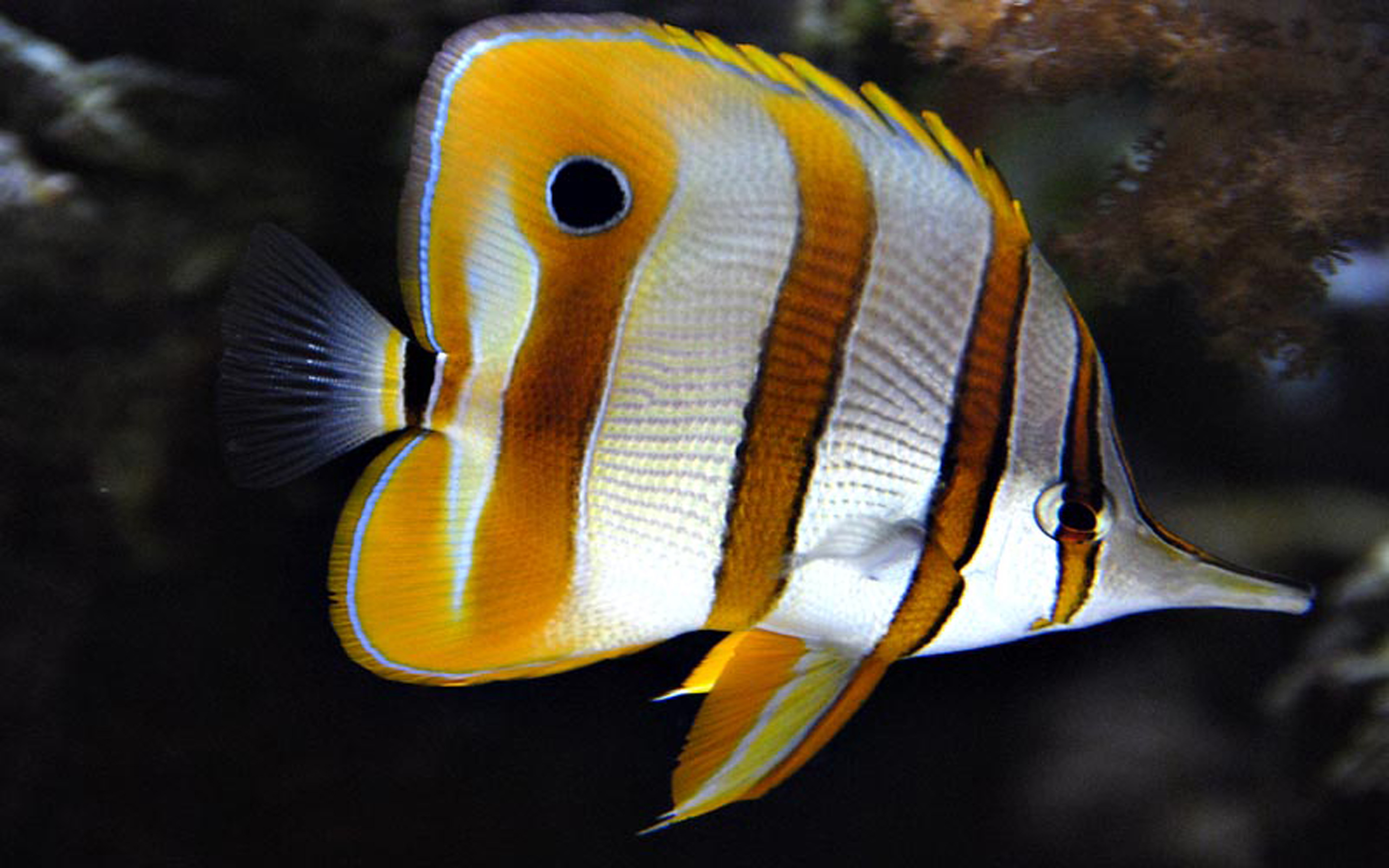 Copper Banded Butterfly Fish Wallpaper Hd