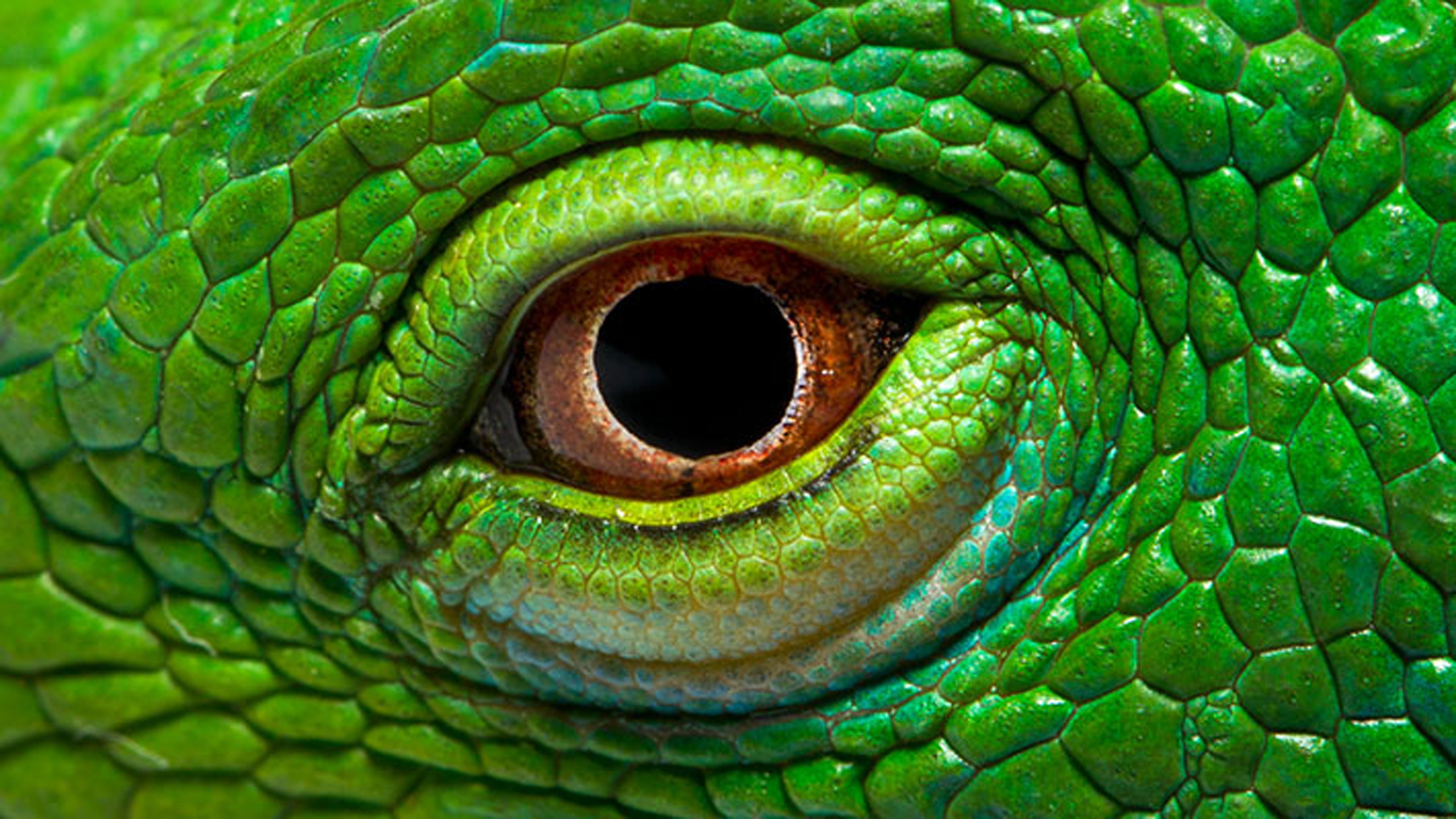 Eye The Green Iguana Wallpaper Hd