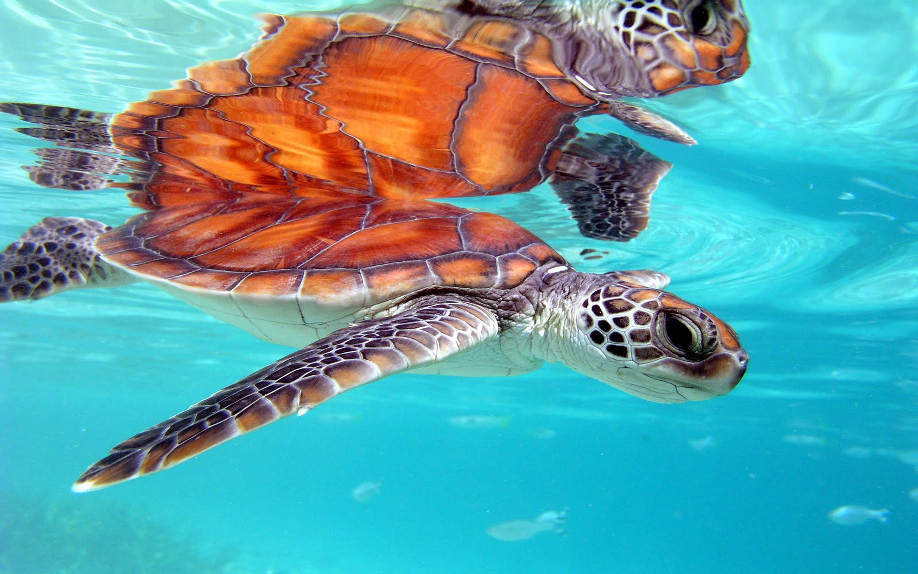 Marine Honu Turtle Bora Bora South Polynesia Desktop Background 3840x2400