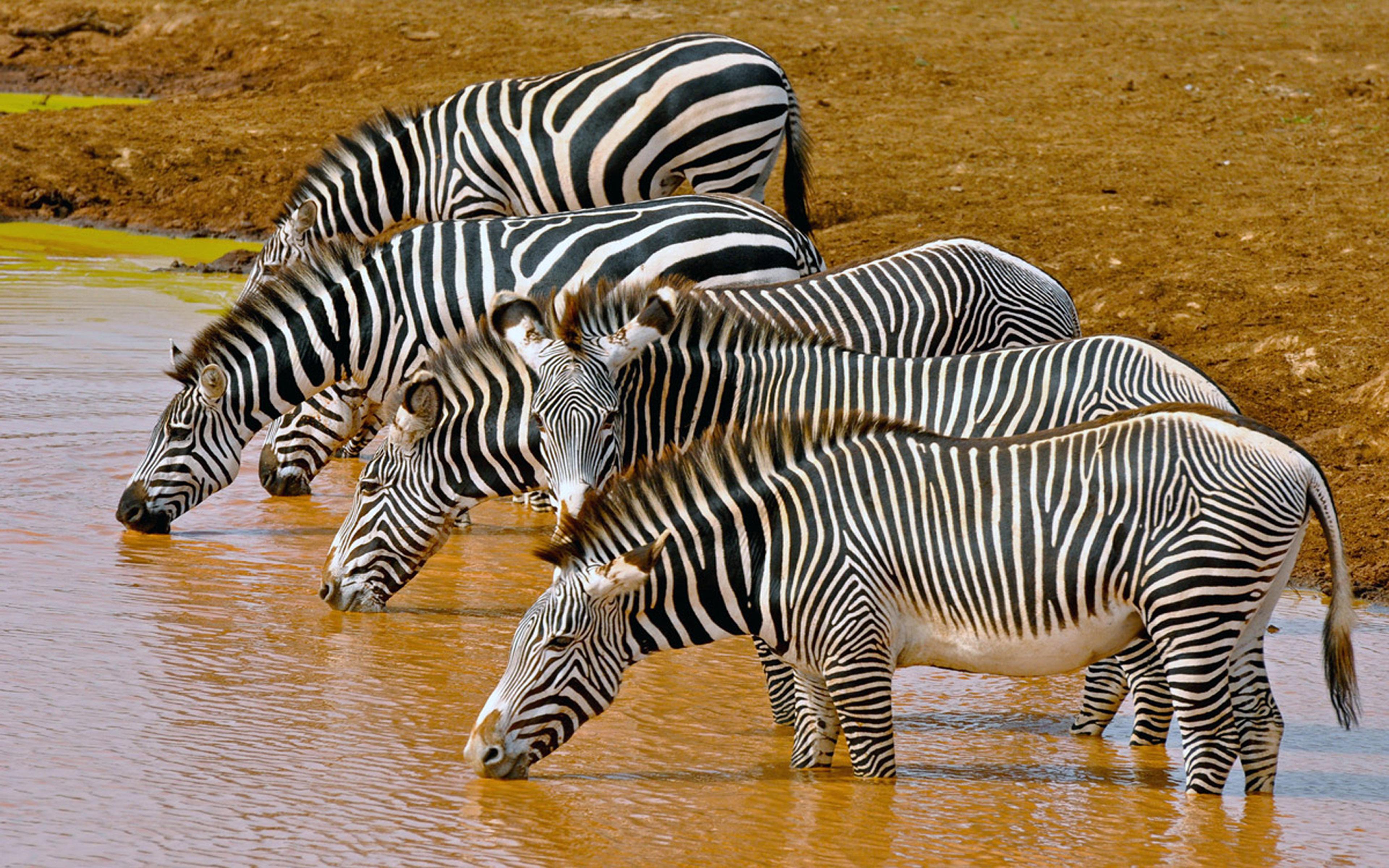 Zebras Beer Drinking Water Hd Wallpaper