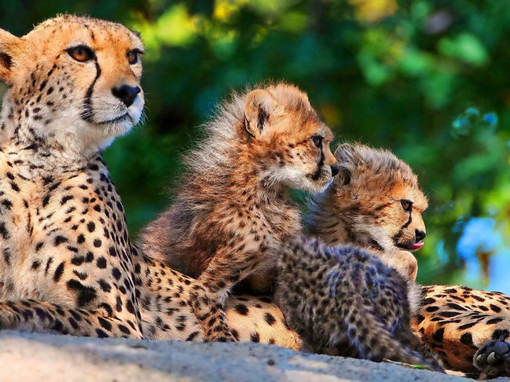 Cheetahs Cubs And Big Cats Predators Hd Wallpaper