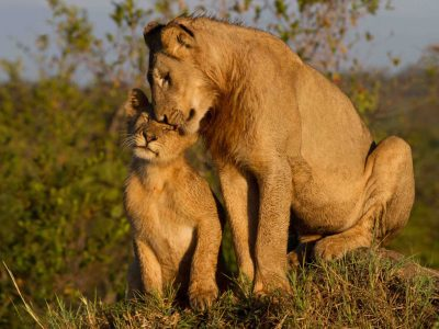 Maternal Love Lioness With Cub Widescreen Free Download ...