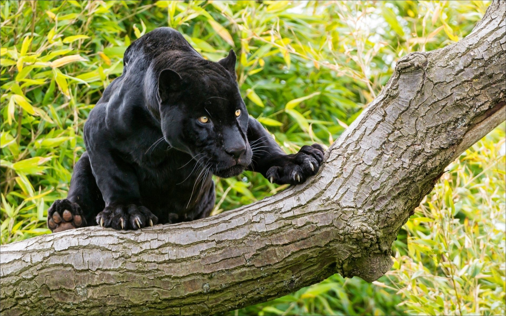 Animals Black Panther On A Tree Desktop Wallpaper Hd
