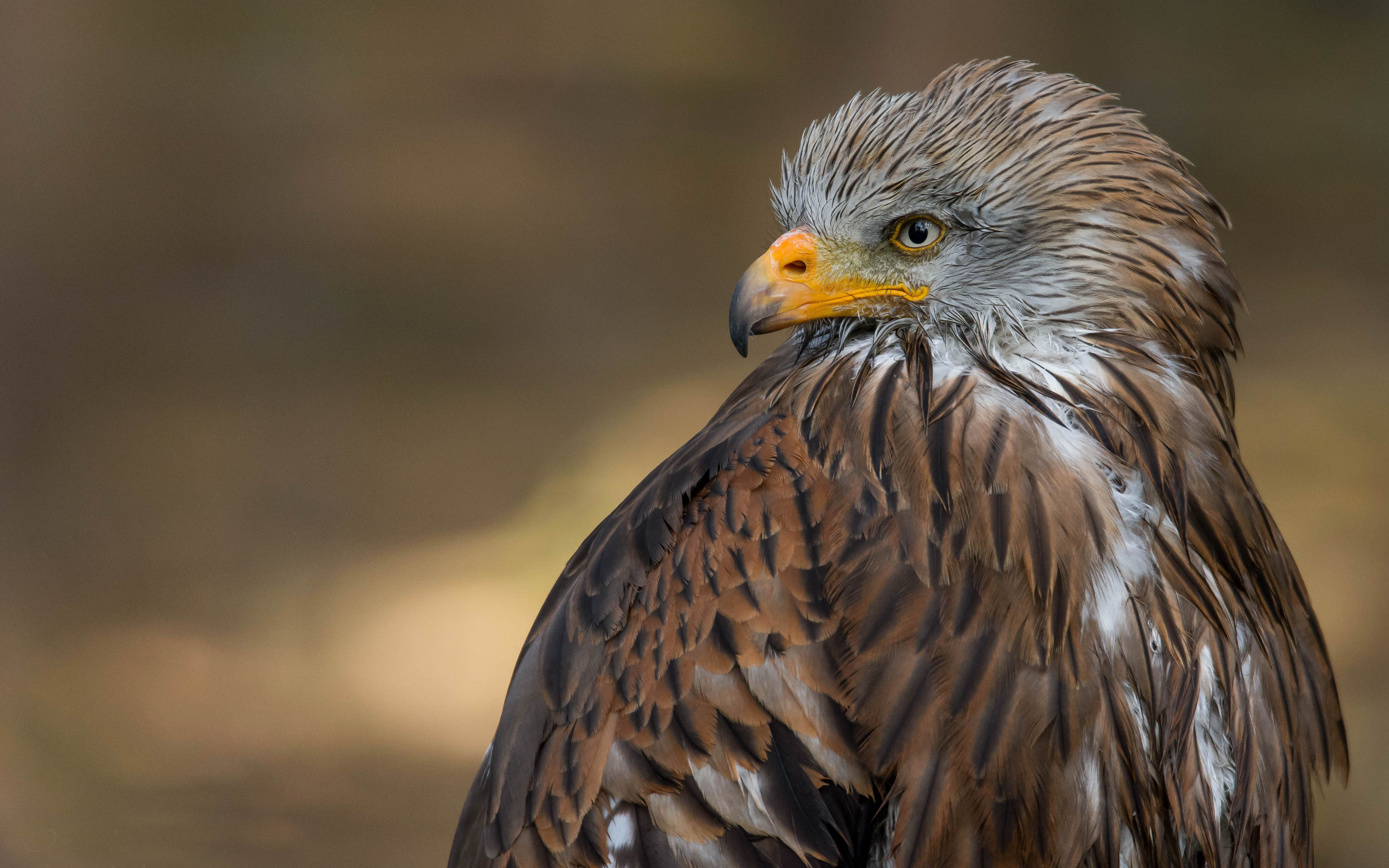 Red Dragon Milvus Milvus Also Red Hawk Kites Large Bird Of Prey Of The Family Accipitridae