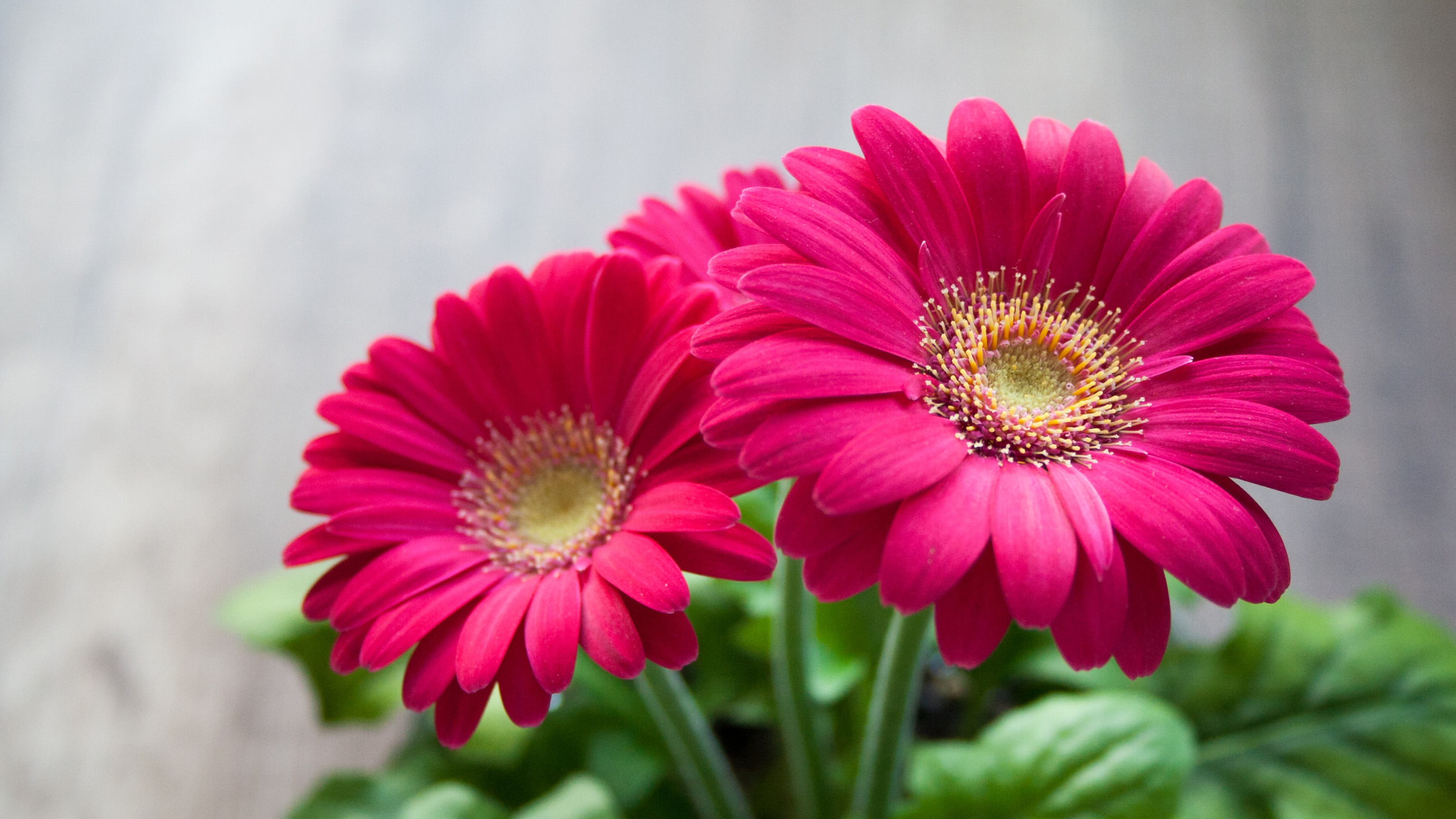 Red Flowers Of Gerbera Hd Wallpaper 3200x1800 Wallpapers13 Com