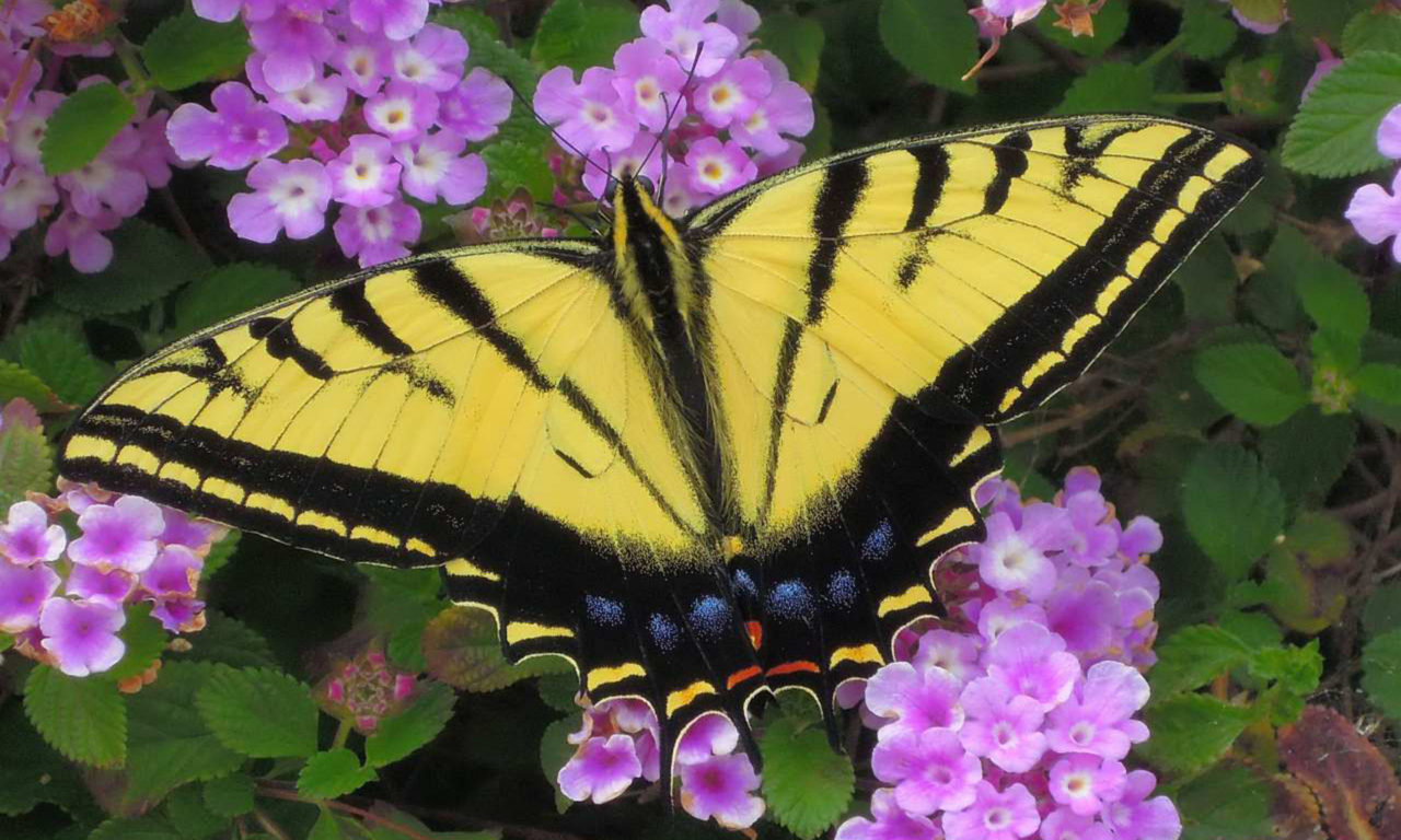 Swallowtail Butterfly Flower Core Yellow And Black With Blue And Red Stripe On The Back Of The