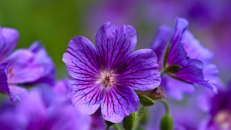 website gallery  design  photos  High Definition D  violet  flowers     violet  flowers  close up