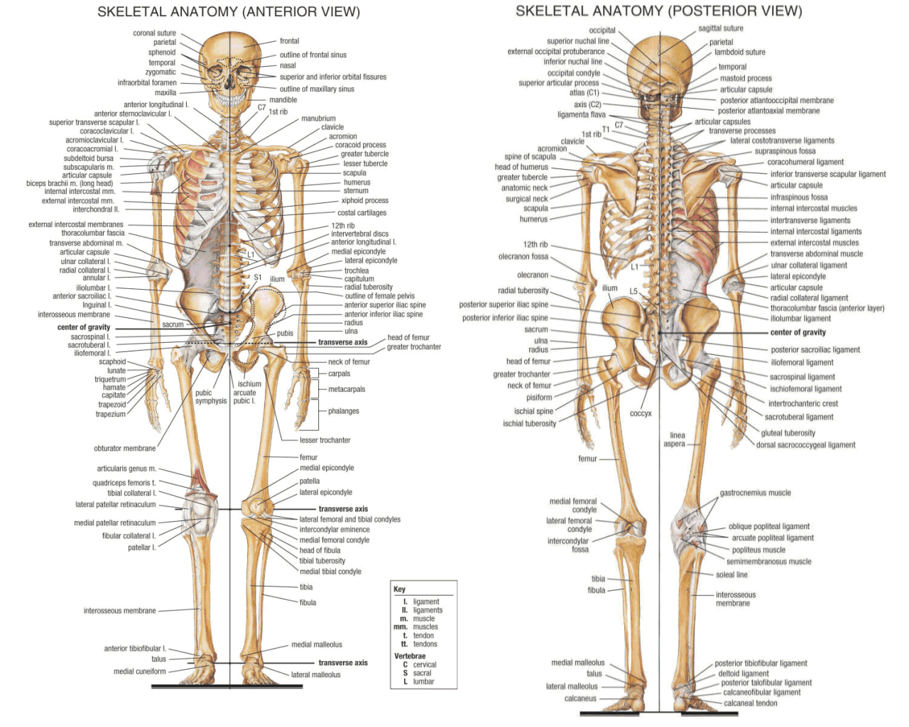 Download Skeletal System Wallpaper Gallery