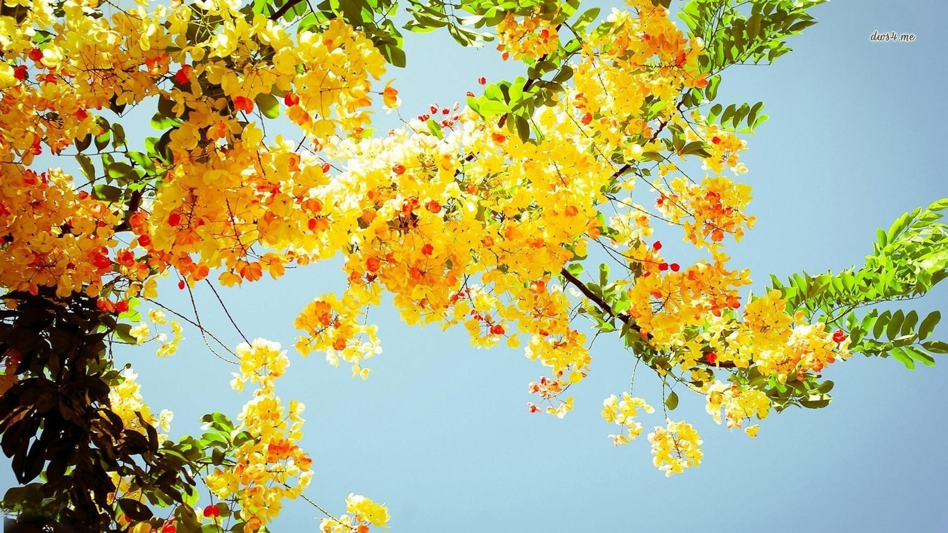 Yellow Flowers Desktop Background 1366x768 Download Hd Wallpaper Wallpapertip
