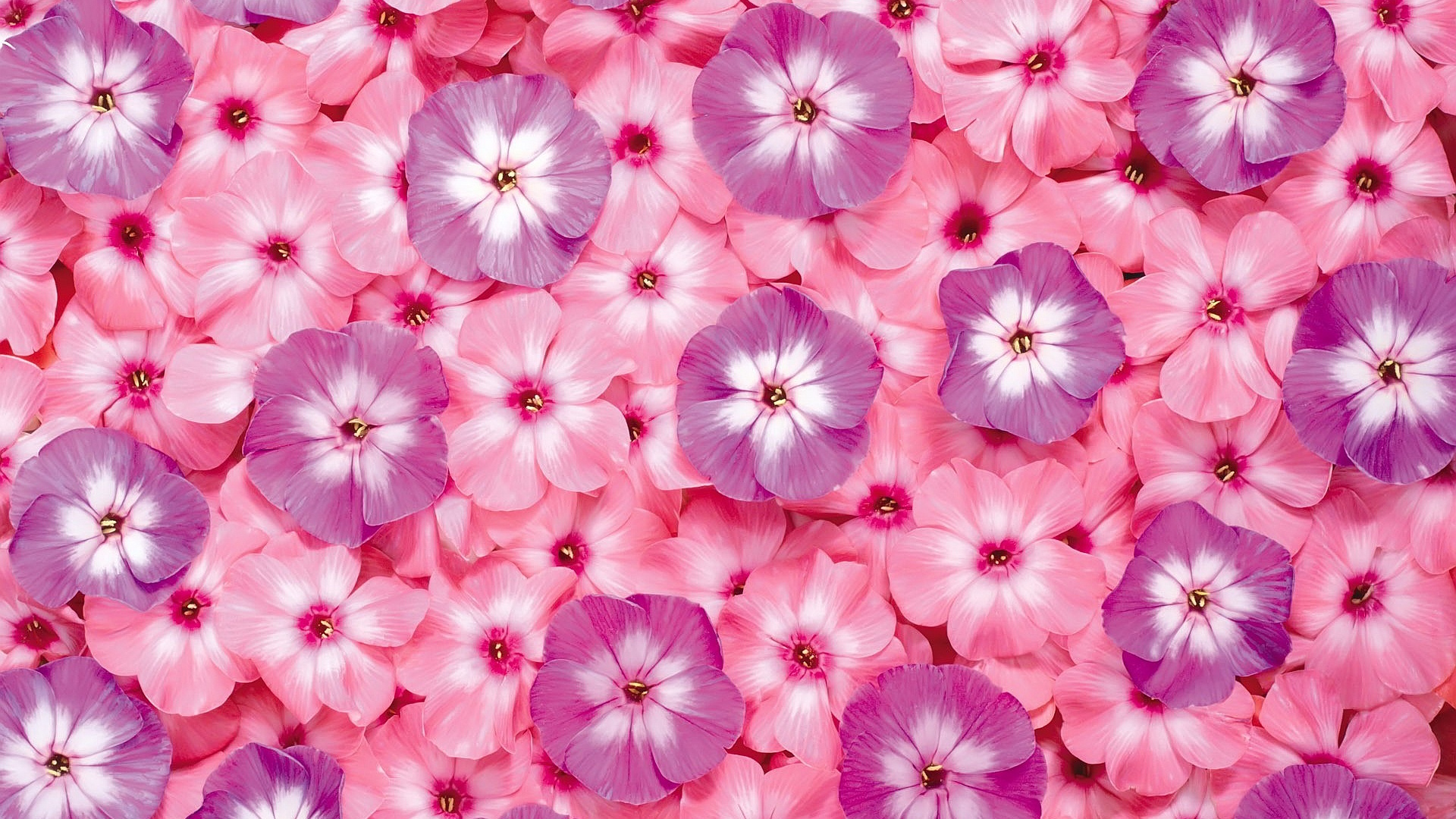 Cantik Bunga Widescreen 3 01 Wallpaper Pink Flower Desktop 1680x1050 Download Hd Wallpaper Wallpapertip