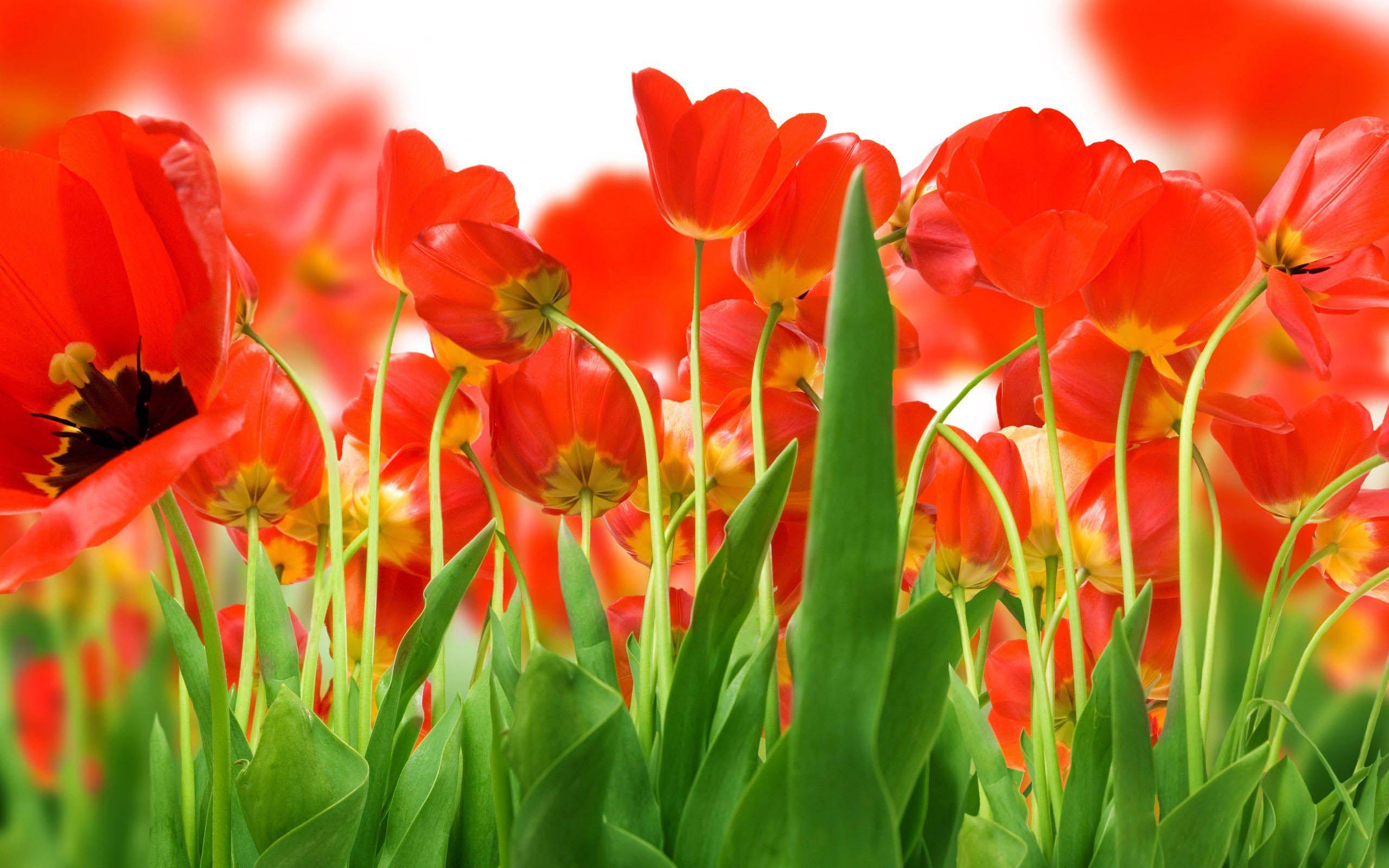 Awesome Flowers Wallpaper Desktop Background Full Screen 2560x1600 Download Hd Wallpaper Wallpapertip