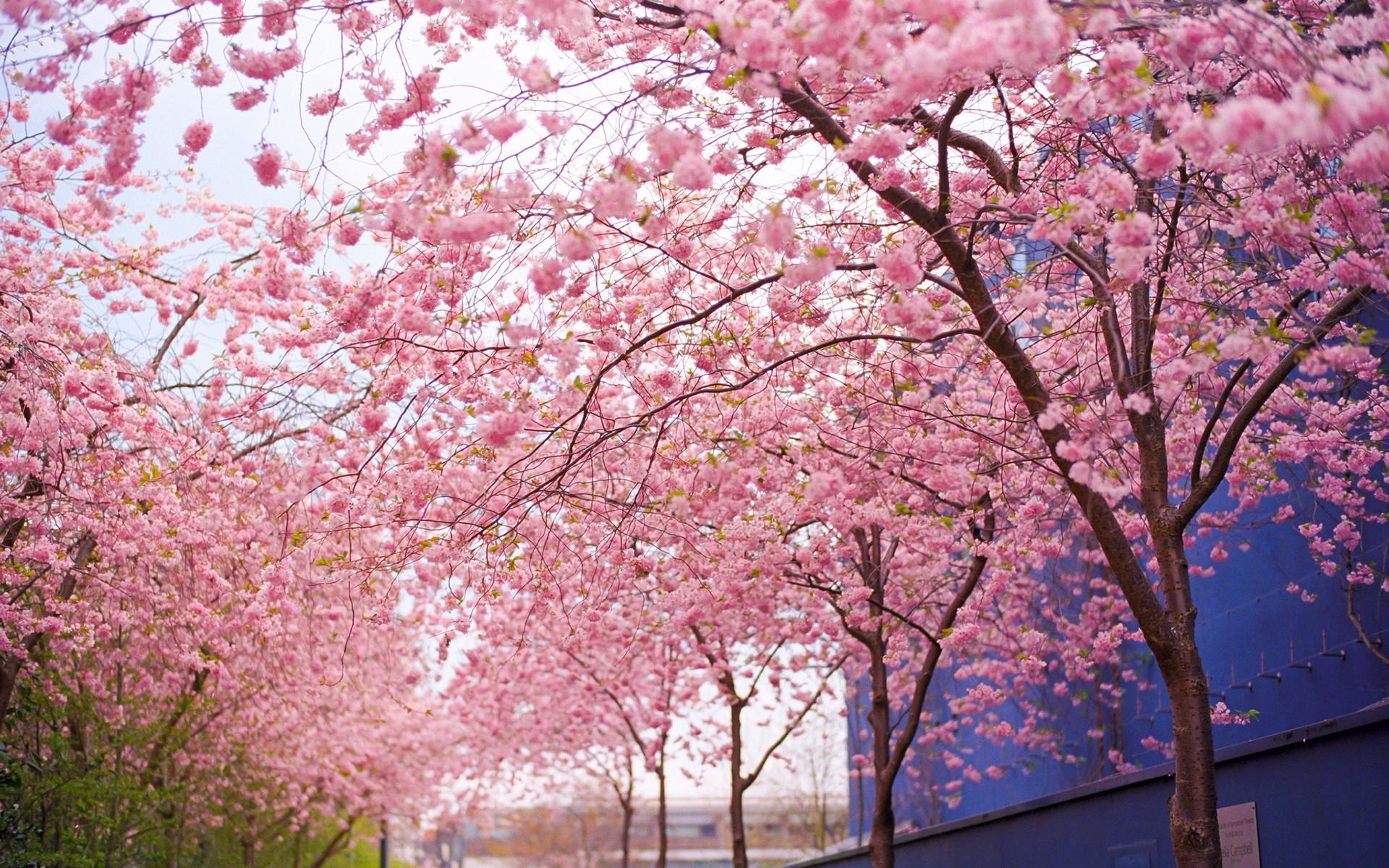 Cherry Blossom Tree Wallpaper 18 Pretty Desktop Backgrounds Hd 1920x1200 Download Hd Wallpaper Wallpapertip