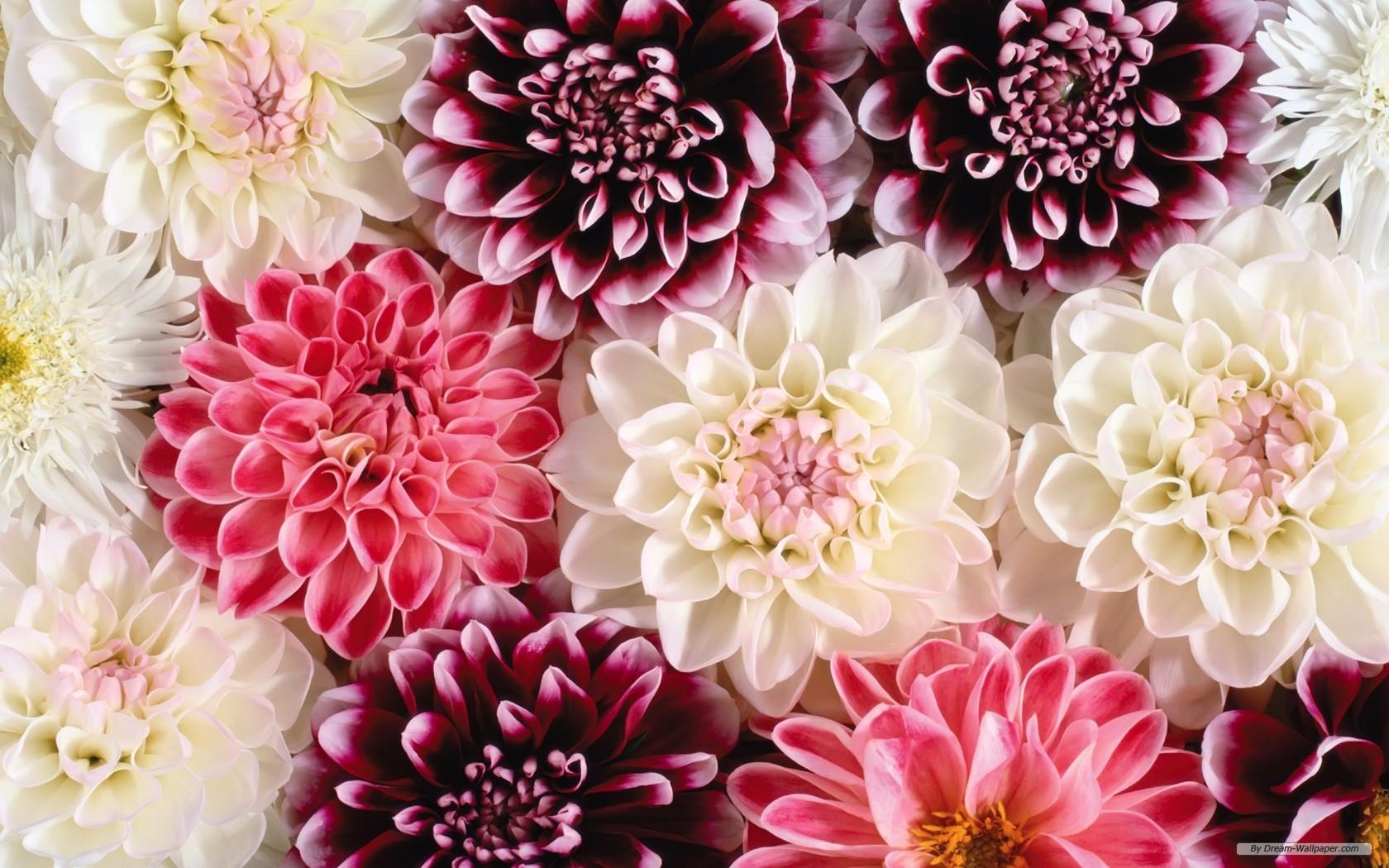Flower Wallpaper Flower Desktop Backgrounds 1680x1050 Download Hd Wallpaper Wallpapertip