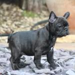 French Bulldog Puppy Black Grey French Bulldog 1600x1200 Download Hd Wallpaper Wallpapertip