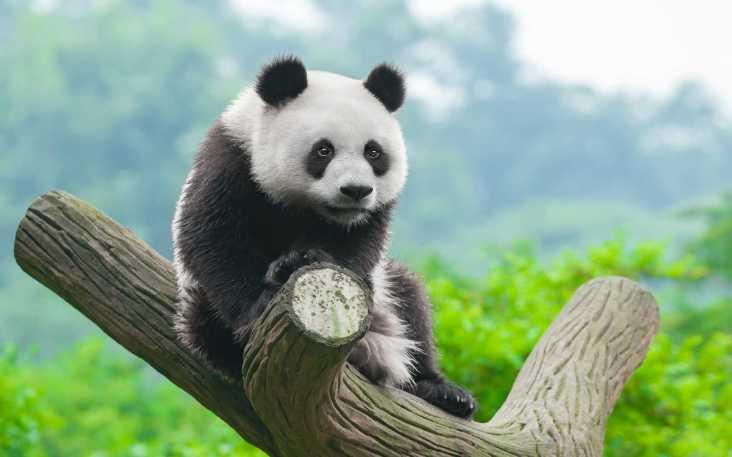 Panda For Mobile - Panda Wallpaper Hd - 1920x1200 - Download HD Wallpaper -  WallpaperTip