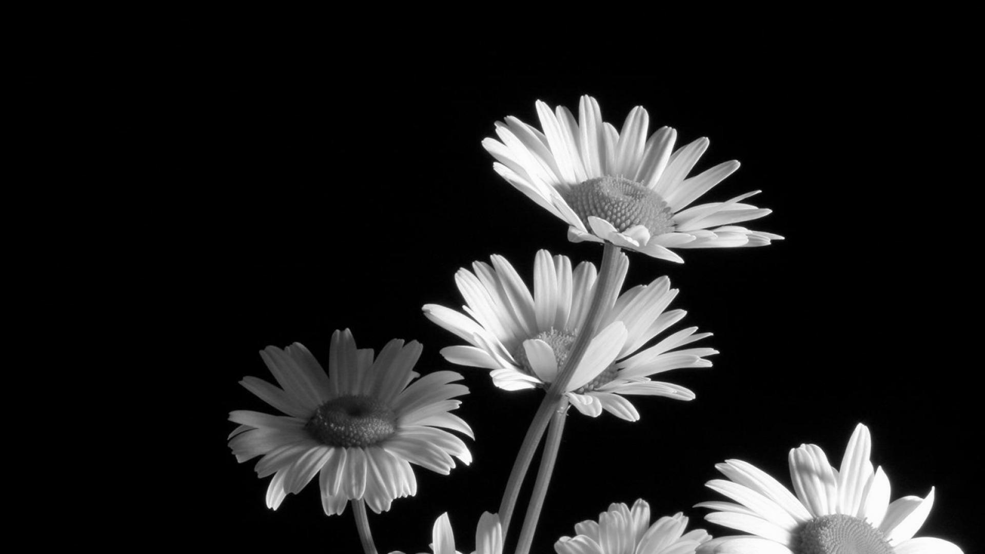 blanc hd papier peint fleur noir