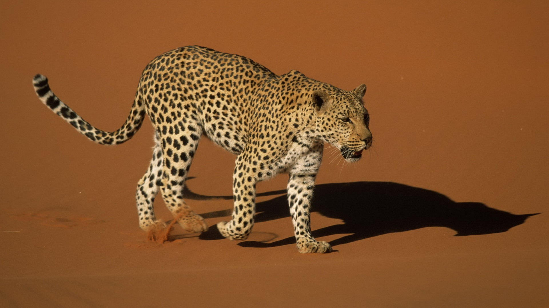 Sand Animals Namibia Leopards National Park Wallpaper