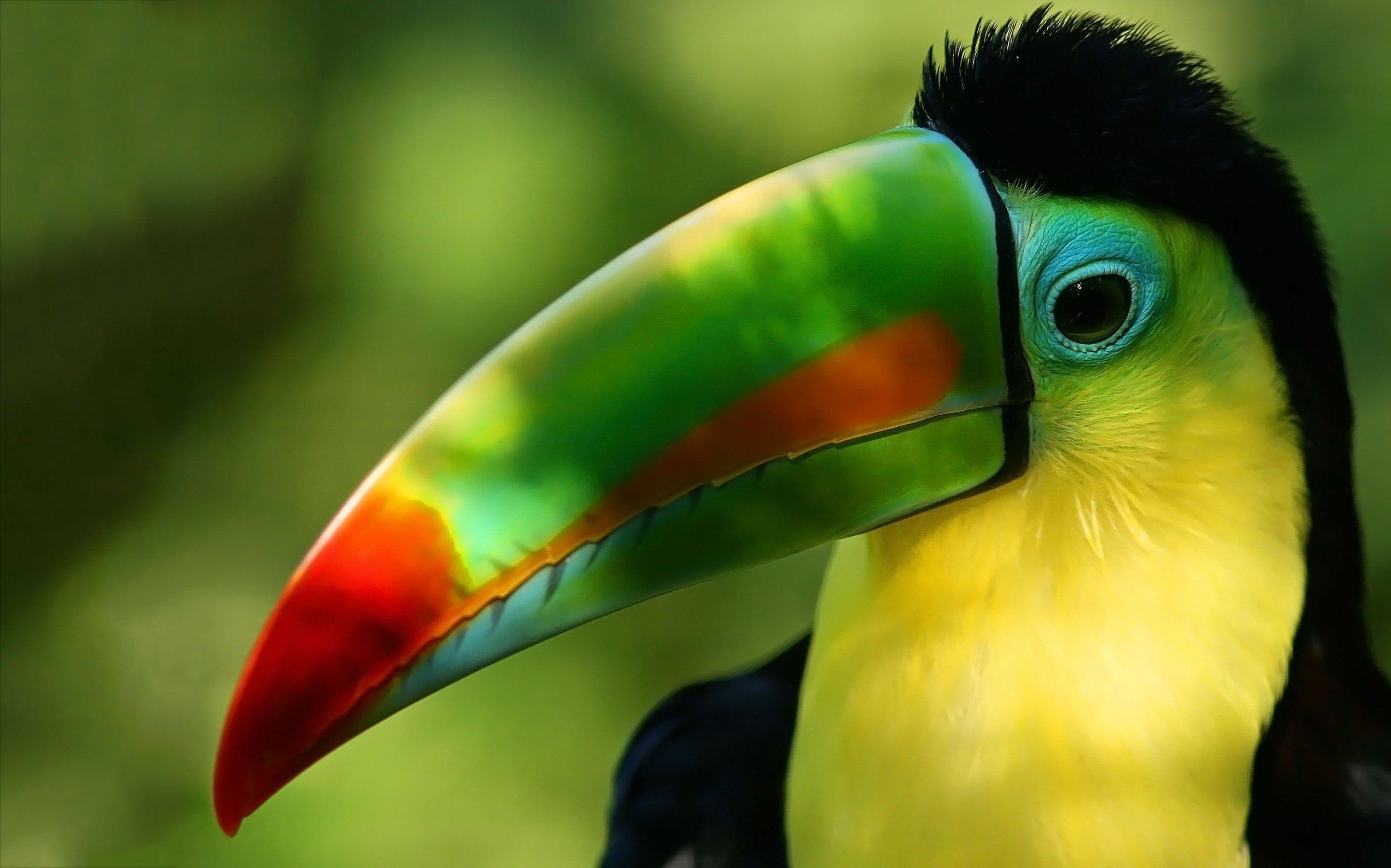 toucan parrot bird tropical (45) wallpaper | 2885x1800 | 363496