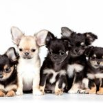 Chihuahua Dog Puppy Baby Wallpaper 3000x1911 719394 Wallpaperup