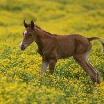 Black Baby Horses Animales Wallpaper 1600x1200 1302789 Wallpaperup