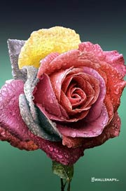 50 Rose Flower Hd Picture Wallpaper For Mobile Wallsnapy