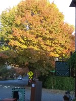 Trees May Fall in 40th St. Revamp