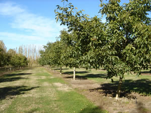 A row of trees in a New Zealand walnut orchard