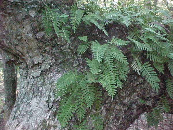 Image result for resurrection fern